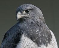águia-chilena