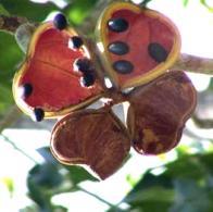 árvore-do-panamá