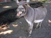 amarrar o burro