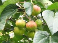 amendoeira-chinesa