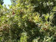 amêndoa-selvagem