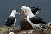 albatroz-de-sobrancelha