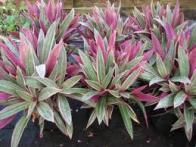abacaxi-roxo