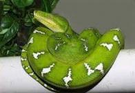 arauemboia