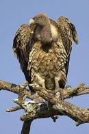 abutre-de-ruppell