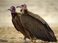 abutre-de-capuz