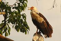 abutre-do-coconote