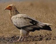 abutre-do-egito