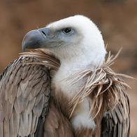 abutre-fouveiro