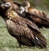 abutre-fusco