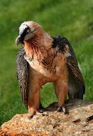 abutre-das-montanhas