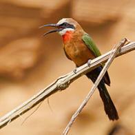 abelharuco-africano
