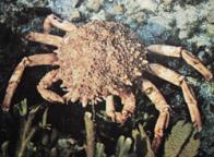 aranha-do-mar