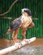 Imagem de águia-de-peito-vermelho