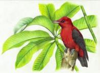 Imagem de anambé-vermelho