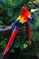Imagem de arara-vermelha