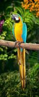 Imagem de arara-de-barriga-amarela