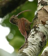 Imagem de arapaçu-beija-flor