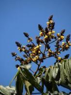 Imagem de araribá-amarela