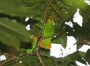 Imagem de apuim-de-cauda-amarela