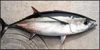 Imagem de atum-branco