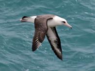 Imagem de albatroz-de-laysan