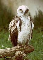 águia-serpente