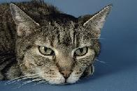 gato aziado