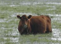 E a vaca já foi pro brejo
