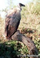 abutre