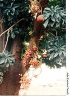 abricó-de-macaco