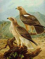 águia-calçada