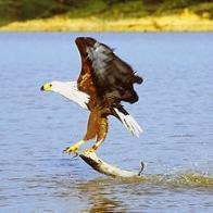 águia-pescadora-africana