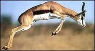 antílope-saltador