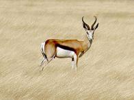 ant�lope-saltador