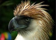 águia-filipina