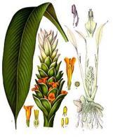 açafrão-da-índia