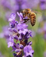 abelha-europeia