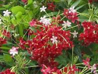 arbusto-milagroso