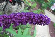 arbusto-de-borboleta