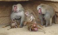 babuíno