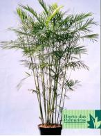 bambu-camedórea