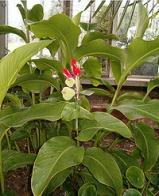bananeirinha-da-índia