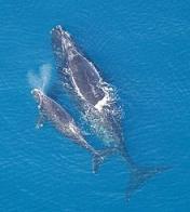 baleia-franca-do-atlântico-norte