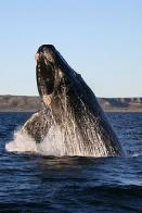 baleia-franca-austral