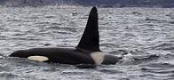 baleia-assassina