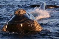 baleia-lisa