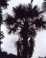 buritirana