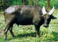 Imagem de búfalo-anão-de-mindoro