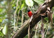 Imagem de bicudo-vermelho